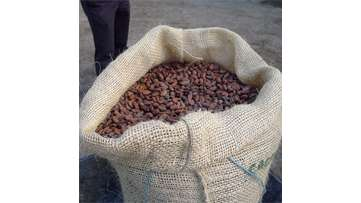 Learn to Grow: Sustainable Cocoa Farming